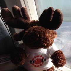 The moose is travelling